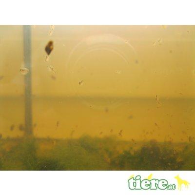 Gemeiner Wasserfloh (Daphnia pulex) als Leben 1