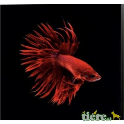 Siamesischer Kampffisch - männlich 1