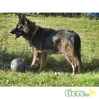 Altdeutsche Schäferhunde Welpen - Rüde 1