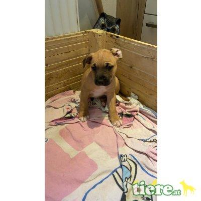 Amerikanischer Staffordshire-Terrier Welpen - Rüde 1