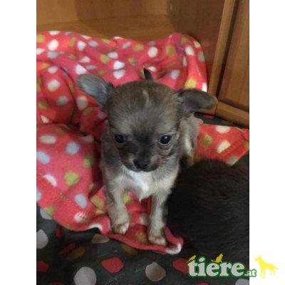 Babys, Chihuahua langhaariger Schlag Welpen - Hündin 1