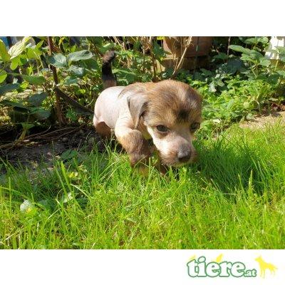 Bonicacio, Chinesischer Schopfhund Hairless-Schlag - Rüde 1