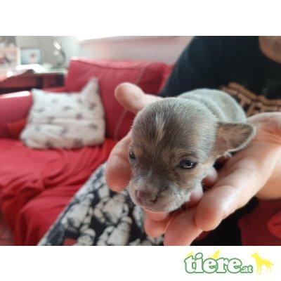 Chihuahua kurzhaariger Schlag Welpen - Rüde 1