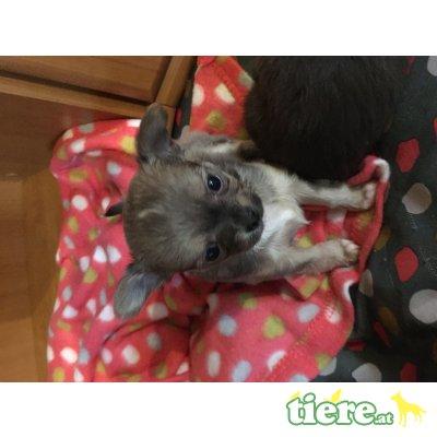 Chihuahua langhaariger Schlag Welpen - Rüde 1