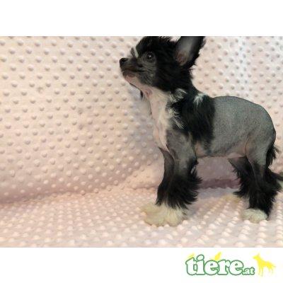 Chinesischer Schopfhund Hairless-Schlag - Hündin 1