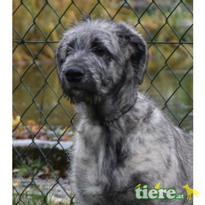 Irish Wolfhound Welpen - Rüde 1