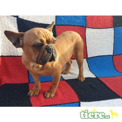 Lulu, Französische Bulldogge - Hündin 1