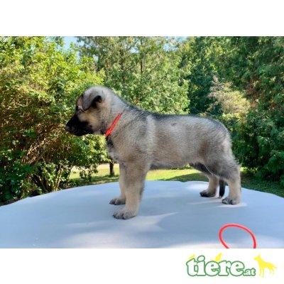 Osteuropäischer Schäferhund Welpen