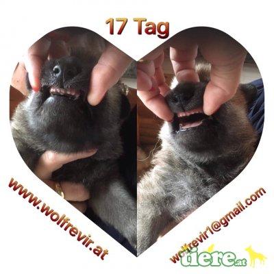 wolfrevir, Tschechoslowakischer Wolfhund Welpen - Hündin 1