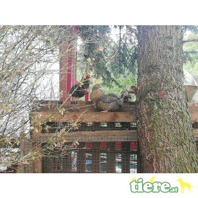 Bielefelder Kennhühner - männlich 1