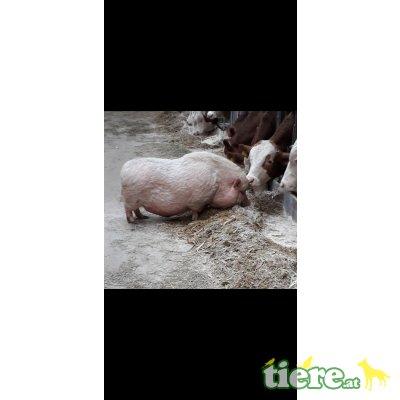 Minischwein Alter