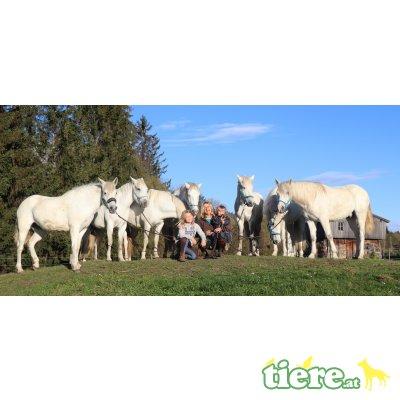 Camargue Pferde zu verkaufen, Camargue Pferd - Stute 1