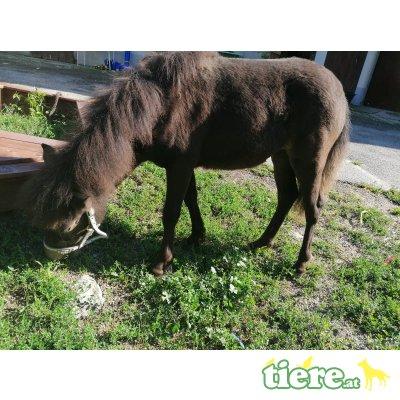 Shetland Pony - Stute