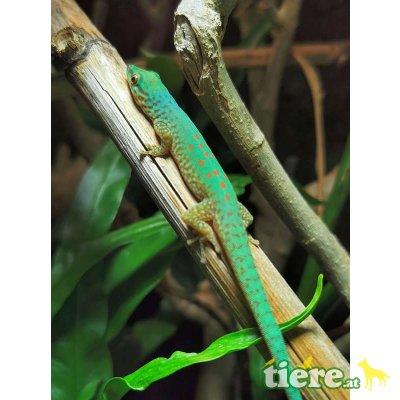 Gefleckter Taggecko / Phelsuma guttata 1